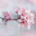 Black Cherry Plum Blossom by Jacky Parker