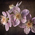 Blackberry Flowers by Endre Balogh