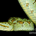 Blotched Palm Pitviper by Dant� Fenolio