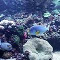 Blue Fish by Tammie Sisneros