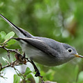 Blue-gray Gnatcatcher by Dwight Eddington