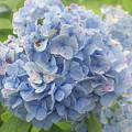 Blue Hydrangea At Rainy Garden In June, Japan by Eiko Tsuchiya