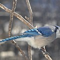 Blue Jay by Raju Alagawadi