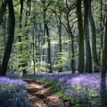 Bluebell Path by Ceri Jones