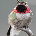 Broad-tailed Hummingbird by Shane Bechler