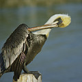 Brown Pelican At The Dock Of The Bay by Mark Wallner