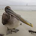 Brown Pelican  by Dustin K Ryan