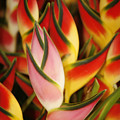 Bunch Of Heliconia by Ron Dahlquist - Printscapes