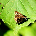 Butterfly by Frances Lewis