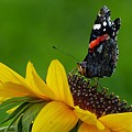 Butterfly On Flower by FL collection