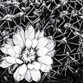 Cacti by Melinda Sullivan Image and Design