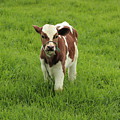 Calf In A Pasture by Robert Hamm