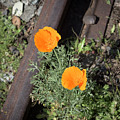 California Poppies by Jim Thompson