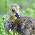 Canadian Goose Chick by Jeramey Lende
