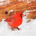 #2 Cardinal In Snow by Reecie Steadman