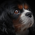 Cavalier King Charles by Shaun Wilkinson