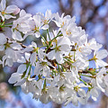 Cherry Blossoms by Carol Ward