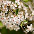 Cherry Flowers by Alain De Maximy