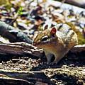 Chipmunk At Heckrodt by Bruce Bodden