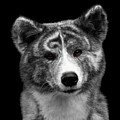 Closeup Portrait Of Akita Inu Dog On Isolated Black Background by Sergey Taran