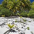 Coconut Palms On A Polynesian Beach by Jean-Louis Klein & Marie-Luce Hubert