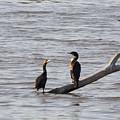 Cormorant by Linda Kerkau