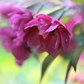 Crabapple Blossom by Jessica Jenney