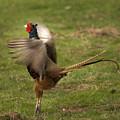 Crowing Pheasant by Angel Ciesniarska