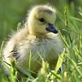 Cute Baby Goose by Jeramey Lende