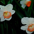 Daffodils by Patrick  Short