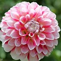 Dahlia Named Hawaii by J McCombie