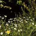 Daisy Daisy by Angela Aird