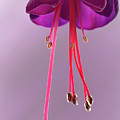 Dance Of The Fuschia by Shirley Mitchell