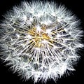 Dandelion by FL collection