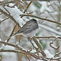 Dark-eyed Junco - Snowbird by Mother Nature