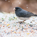 Dark Eyed Junco by Melinda Fawver