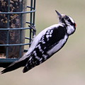 Downy Woodpecker by Annie Babineau