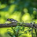 Downy Woodpecker In The Wild by Alex Grichenko