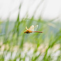 Dragonfly Flying by Alain De Maximy