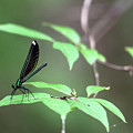 Dragonfly by Wesley Farnsworth