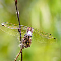 Dragonfly Wings by Alain De Maximy