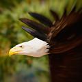 Eagle In Flight by Nick Biemans