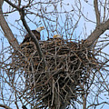 2 Eagles On Nest  3172b  by Jack Schultz