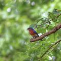 Eastern Bluebird by Michael Munster