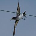 Eastern Kingbird by Jan M Holden