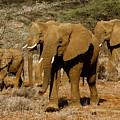 Elephant Parade by Michele Burgess