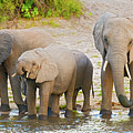 Elephants At The Bank Of Chobe River In Botswana by Marek Poplawski
