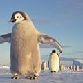 Emperor Penguin Aptenodytes Forsteri by Tui De Roy
