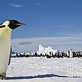 Emperor Penguin by Jean-Louis Klein & Marie-Luce Hubert