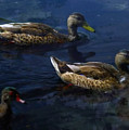 Exotic Birds Of America Ducks In A Pond by Navin Joshi
